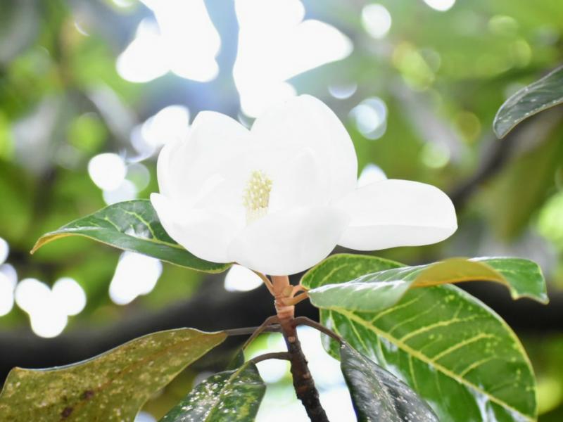Photo of a magnolia blossom.